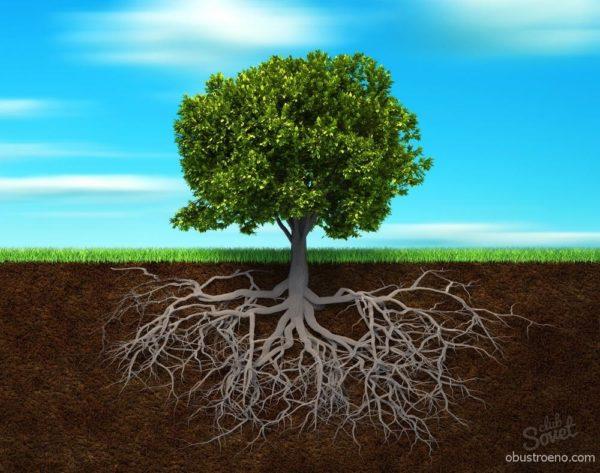 Примерное соотношение кроны и корневой системы дерева