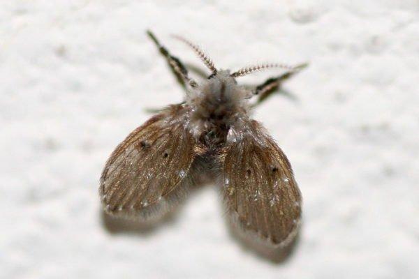 Мушка бабочница