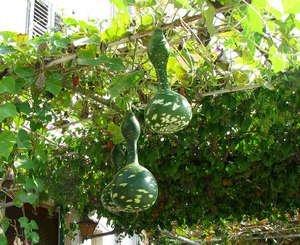 Будто лампы свисают плоды лагенарии