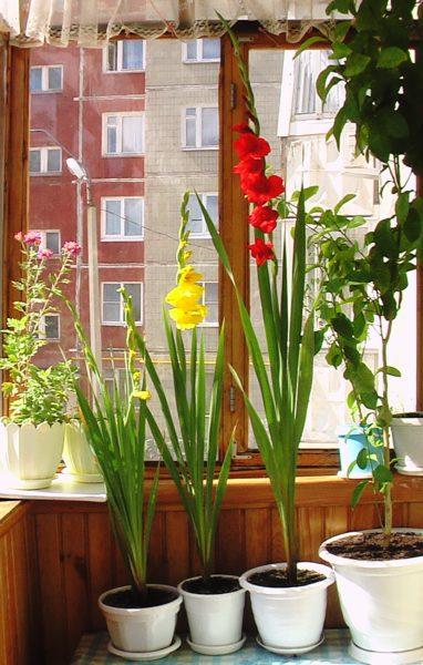 Чтобы растение радовало вас пышным цветением, не ленитесь тщательно за ним ухаживать