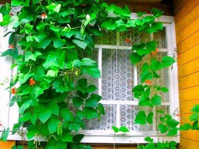 Декоративная фасоль или турецкие бобы