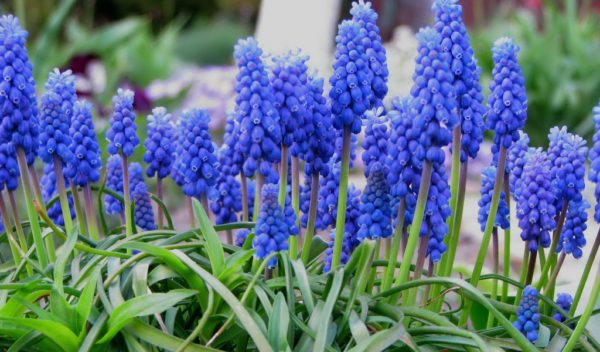 Дихоризандра с синими цветами-свечками