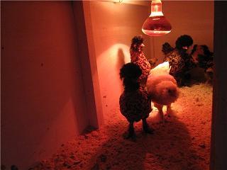 Экономный способ обогрева курятника – установка обычных ламп накаливания.