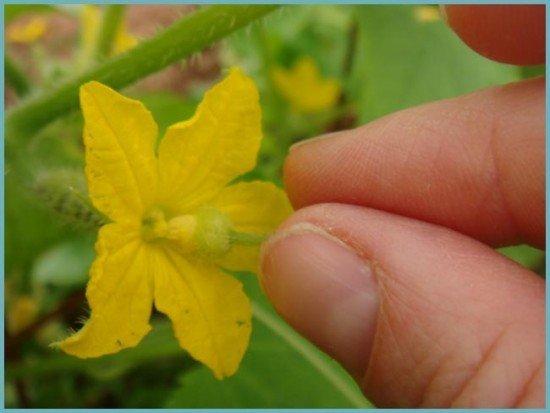 Если вы изначально посадили не партенокарпический сорт, ручное опыление остается единственным способом получить урожай