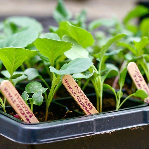 Если вы сеете разные сорта, подпишите на деревянных палочках их названия и поместите их в каждую ячейку с рассадой