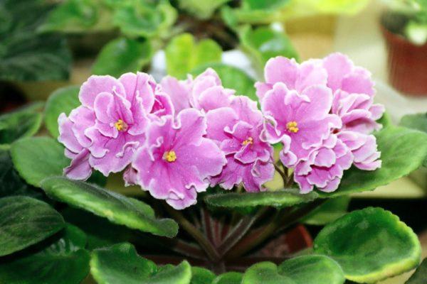 Фиалки позволят вам разнообразить свою балконную лужайку. Цена за взрослое растение может варьироваться от 50 рублей до 600 долларов.