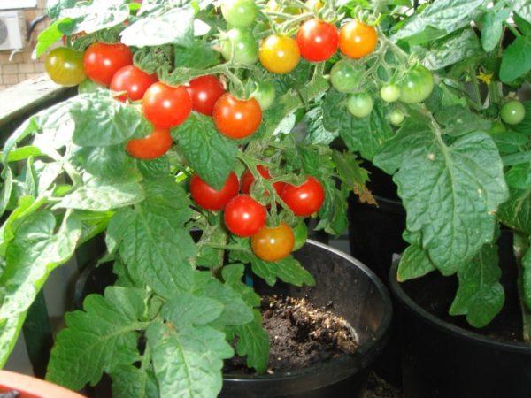 И зимой можно выращивать отличные томаты