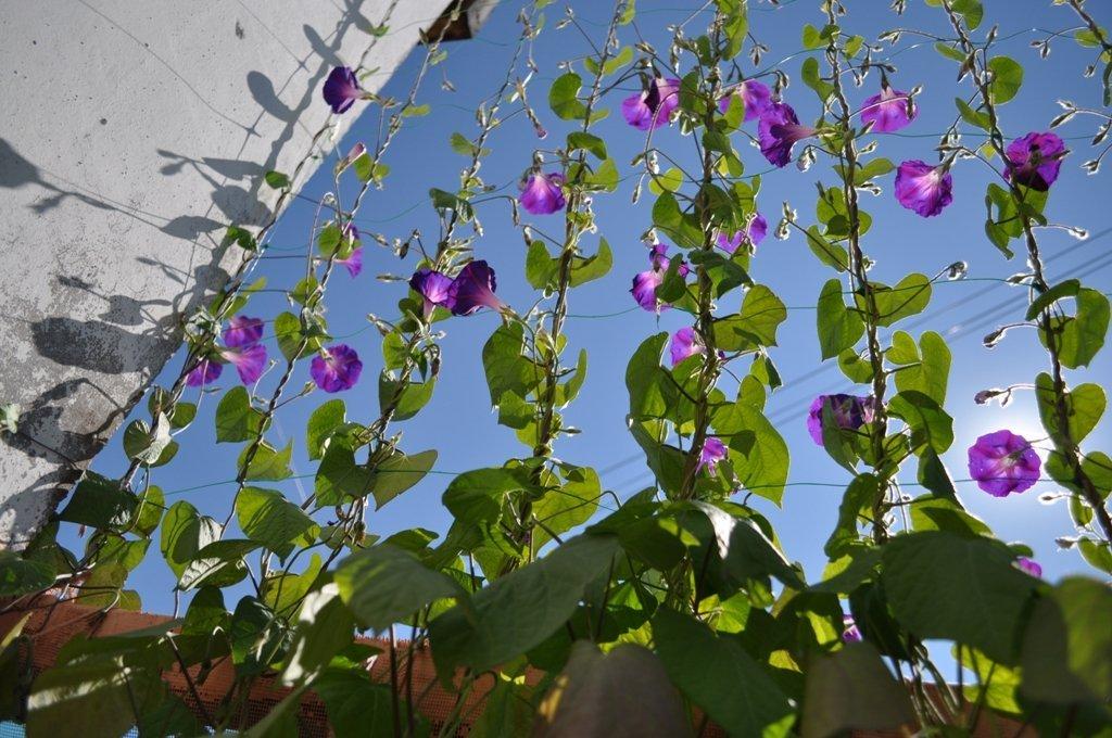 Ипомея на балконе: посадка, выращивание и уход своими руками.