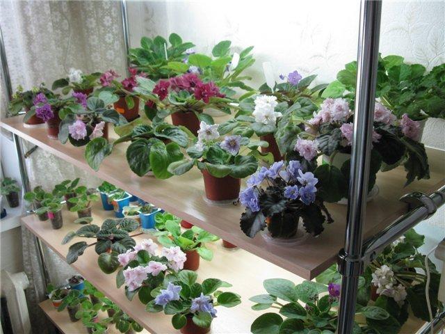 Фиалки на балконе: инструкция по выращиванию цветов своим....