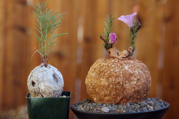 Каудексная ипомея – удивительное растение