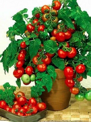 Кисти томатов в сорте «Пиноккио» напоминают гроздья винограда