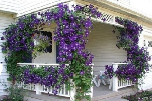 Клематис хорош не только для украшения балконов, но и беседок или веранд