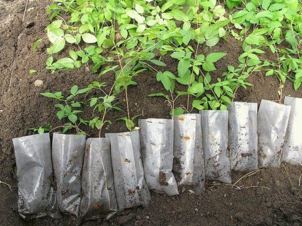 Клематис хорошо переносит практически любую почву