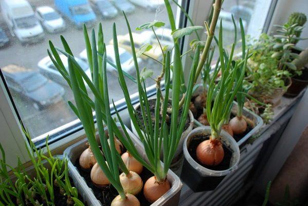 Зелень на балконе: 5 популярных идей по выращиванию obustroe.