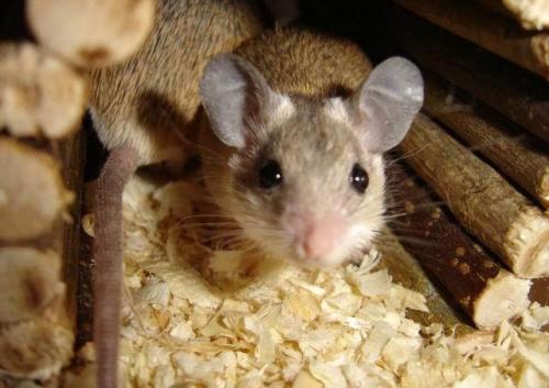 Минеральную вату не любят грызть мышки.