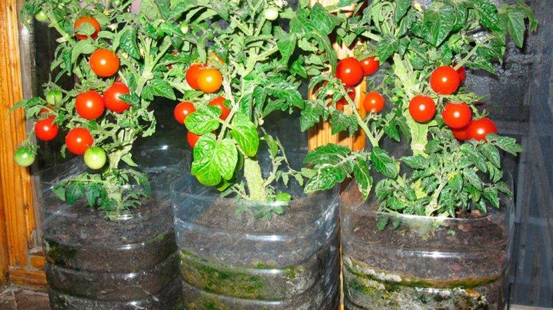 Помидоры балконное чудо выращивание дома зимой 13