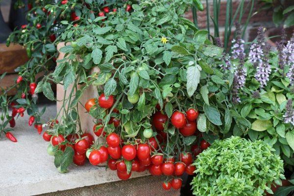 На фото- ампельные помидоры