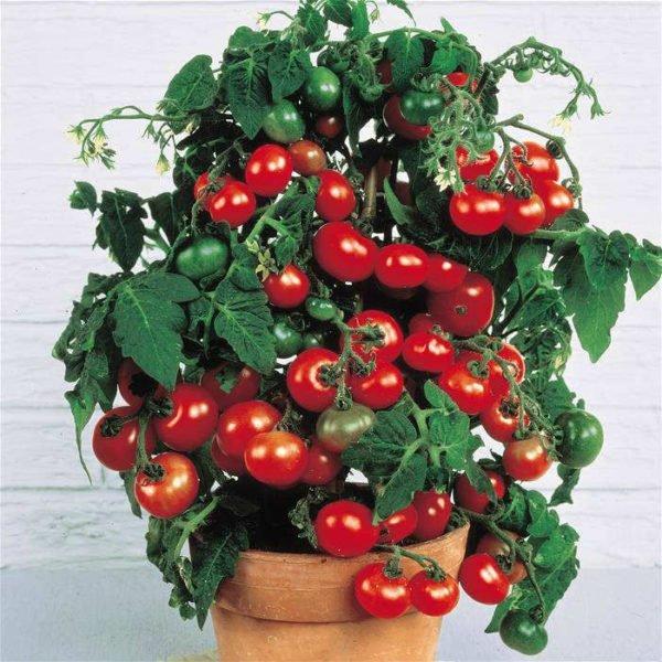 На фото: помидоры в горшках и выглядят отлично