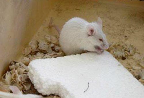 На пенопласте не появляется плесень, но его любят грызть мыши.