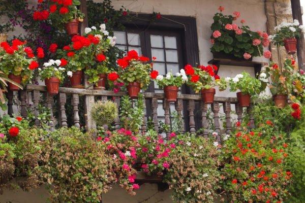 На северных балконах можно успешно выращивать однолетки и горшечные многолетники, которые чаще располагаются на подоконниках