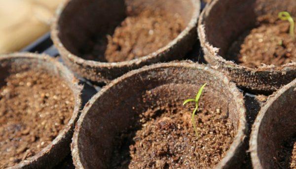 Не стоит пропускать этап обеззараживания грунта, иначе растение может заболеть
