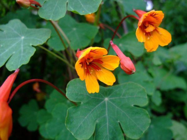 Очарование настурции клубненосной, носящей громкое латинское имя Tropaeolum tuberosum