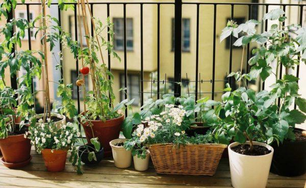 Огород на подоконнике на балконе – отличный способ создания зеленого уголка в сердце мегаполиса