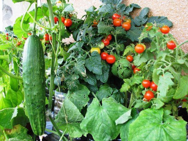 Огород своими руками на балконе лучше организовать карликовыми, компактными растениями