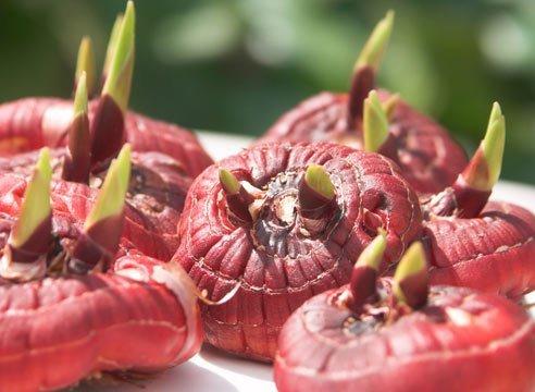 От качества луковиц напрямую будут зависеть декоративные свойства цветка