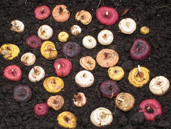Перед хранением аккуратно руками удалите остатки грунта с луковиц