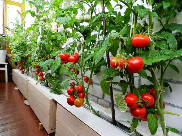 Перед тем как сделать своими руками помидорную грядку, подберите подходящий сорт, советую обратить внимание на ампельные томаты и черри