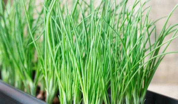 Перед тем как вырастить зеленый лук, тщательно проверьте посадочный материал