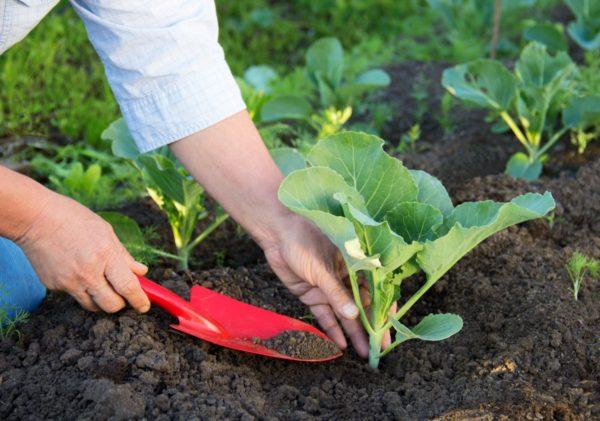 Поздний урожая капусты хранится лучше всего