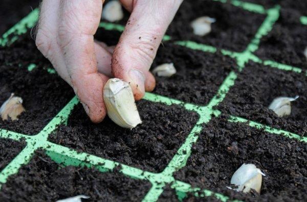 Процесс высадки чеснока