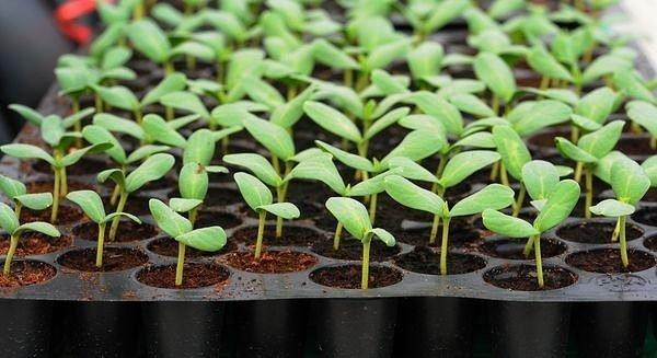 Рассаду удобнее всего выращивать в специальных поддонах с большим количеством ячеек