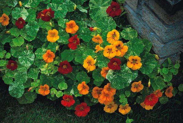 Разноцветные цветки-граммофоны при правильном уходе выстилают целый ковер