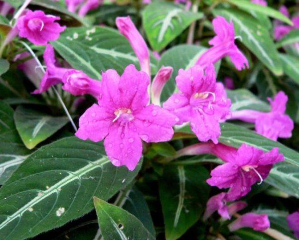 Руэллия удивит не только пушистой шапкой зелени, но и симпатичными цветочками