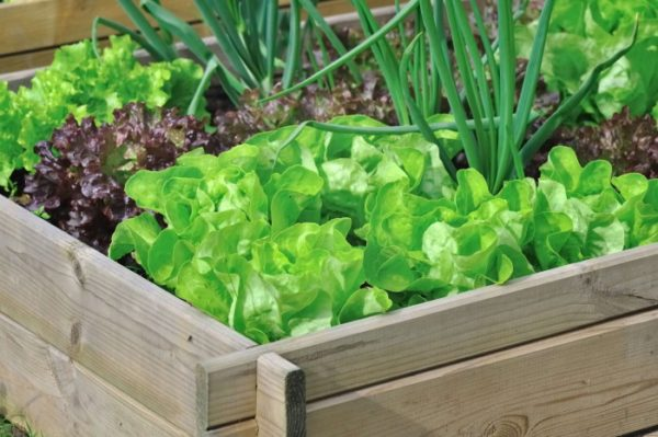 Самой неприхотливой для домашнего выращивания является зелень