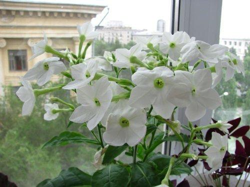 Скромный, но очень ароматный цветок
