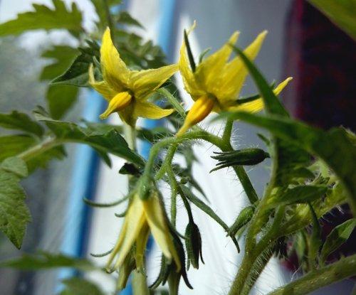 Соцветия можно слегка встряхивать, чтобы улучшить опыляемость