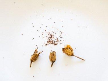Сухие коробочки с семенами