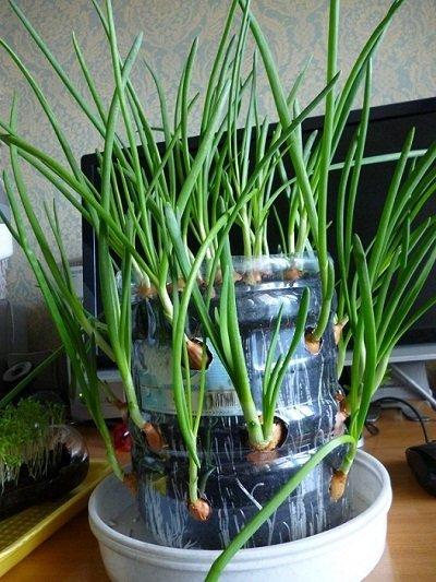 Выращивания зеленого лука в квартире 55