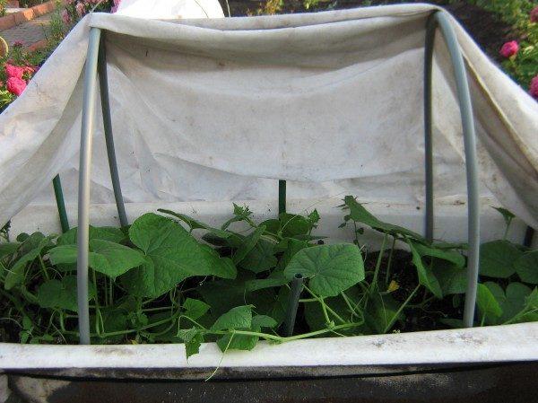 Уже через месяц после появления всходов можно снимать первый урожай