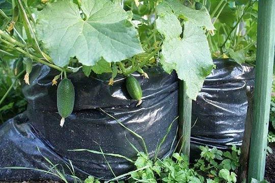 Вместо горшков можно использовать большие плотные мусорные пакеты