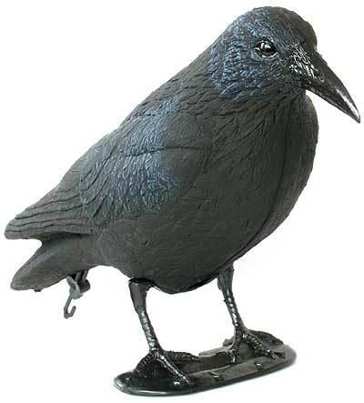 Ворон – один из самых опасных врагов голубей