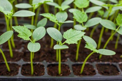 Правильно вырастить рассаду огурцов в домашних условиях