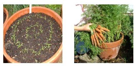 Как вырастить морковь на балконе в домашних условиях.