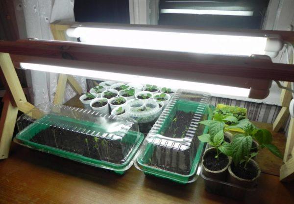 Выращивание овощей на балконе начинается с рассады