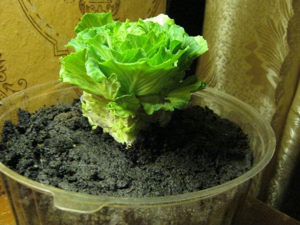 Вырастить не только ростки, но и сами кочаны на балконе сложно, но возможно