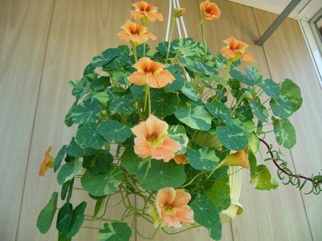 Настурция выращивание из семян в домашних 53